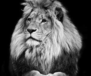 king, animaux, and lion image