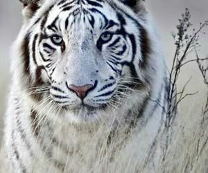 tiger, animal, and white image