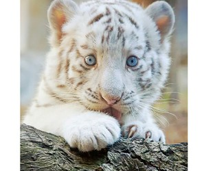 animals, beautiful, and white tiger image
