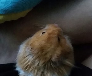 adorable, furry, and hamster image