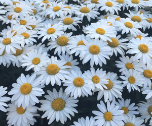 daisies, flowers, and picture image