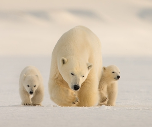 animals, bears, and polar bears image