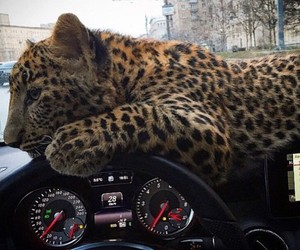 car, animal, and leopard image