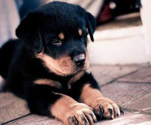 animal, perro, and rottweiler image