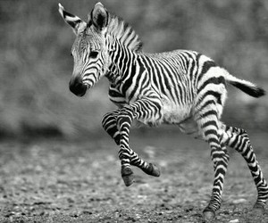 zebra, animal, and cute image