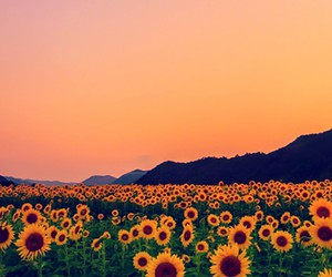 sunflower, flores, and flowers image