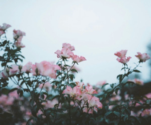 nature, flower, and pink image