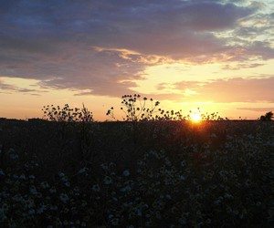 camomile, field, and germany image