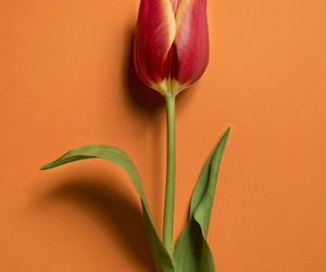 background, tulip, and flower image