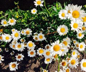 background, daisies, and flower image