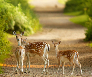 Animal kingdom, deer, and nature image