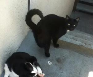 black cat, cat, and tuxedo cat image