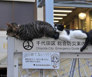 cat, japan, and cute image