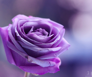 rose, beautiful, and pretty image
