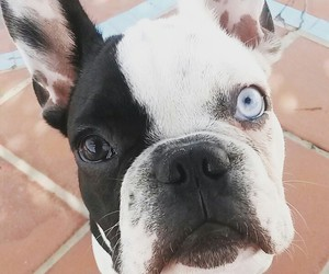bulldog, french, and blueeye image