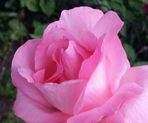 barbie, rose, and colour image