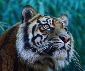 tiger, animal, and wallpaper image