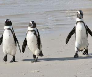 african penguin image