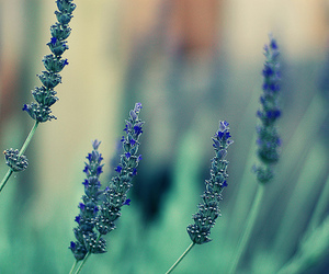 bokeh, flowers, and lavender image