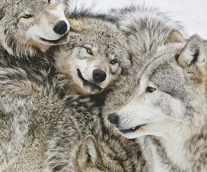 wolf, animal, and winter image