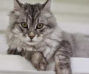 angora, cat, and feline image