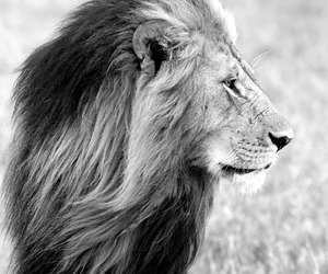animal, lion, and black and white image