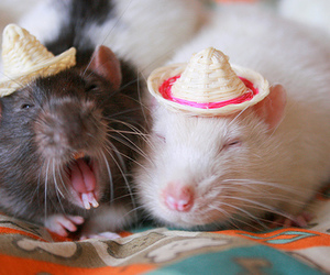 cute and rat image