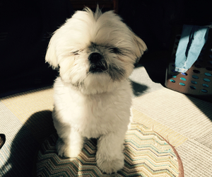 dog, shih tzu, and prity image