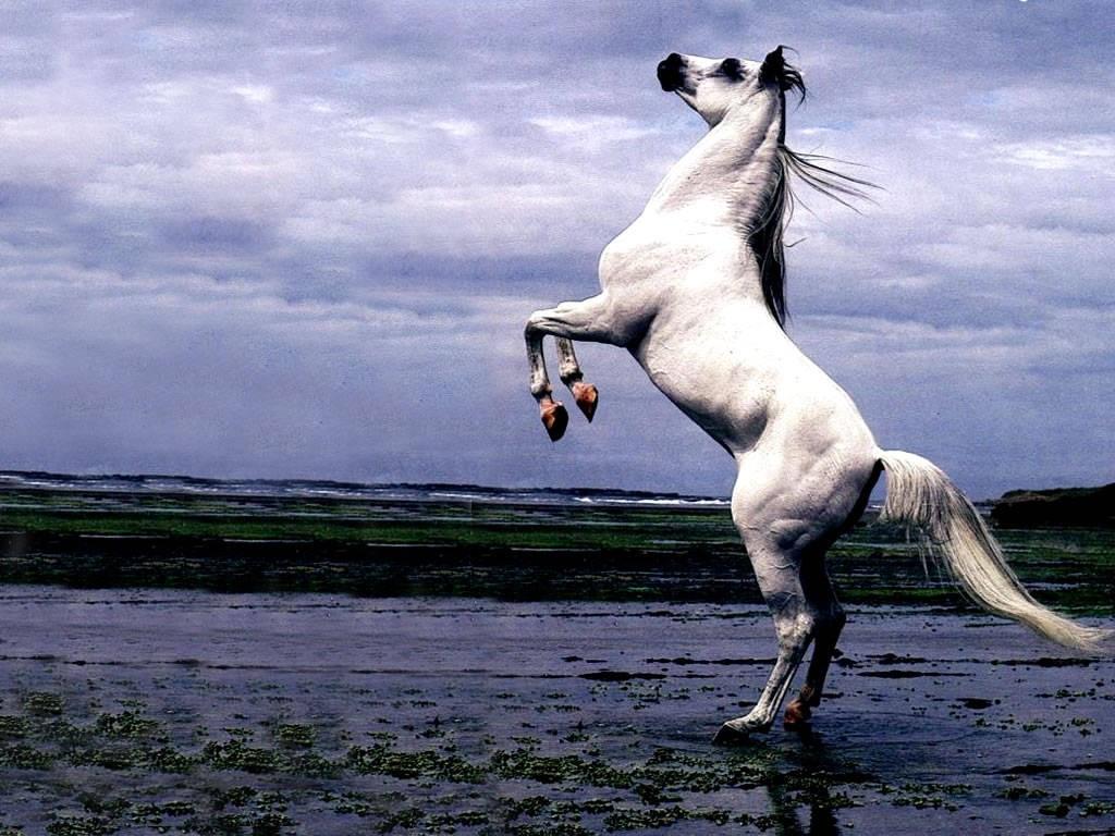 Arabian Stallion Rearing Riderless Horse Wallpaper