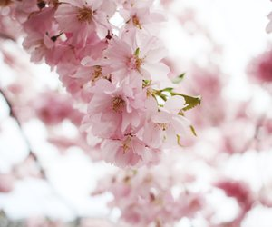 blossom, cherry, and japanese image