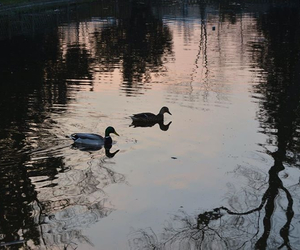 canard, lumiere, and reflet image