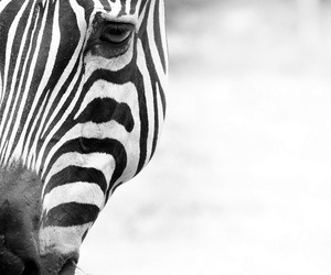 animals, black and white, and lines image