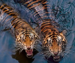 animals, kitty, and big cats image