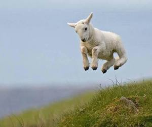 lamb, animal, and sheep image