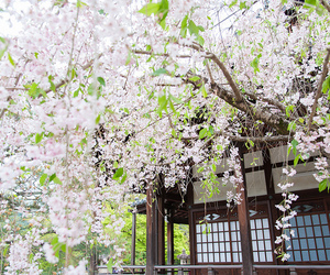 japan, cherry blossoms, and kyoto image
