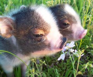 pig and animals image