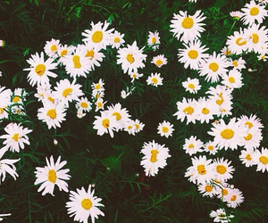 flowers, summer, and chamomile image