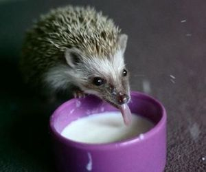 hedgehog, cute, and milk image