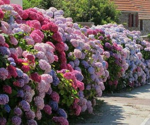 hydrangea, beautiful, and flowers image