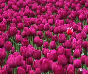 colorful, flowers, and tulip image