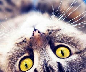 animals, eyes, and cat image