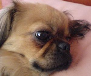 animals, dogs, and pekingese image