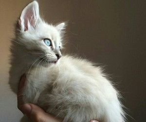 cat, blue eyes, and kitty image