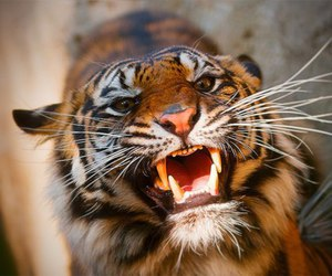 tiger, animal, and teeth image