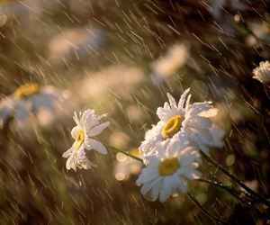 flowers, rain, and daisy image