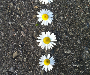 daisy, flowers, and ground image