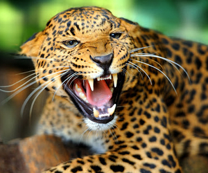 animal, leopar, and power image