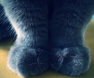 blue, cat, and furry image