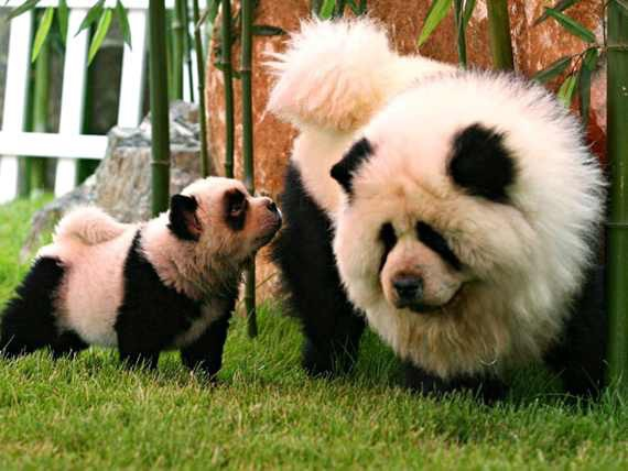 Chow chow dogs with hair dyed to look like panda