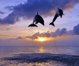 dolphin and sunset image